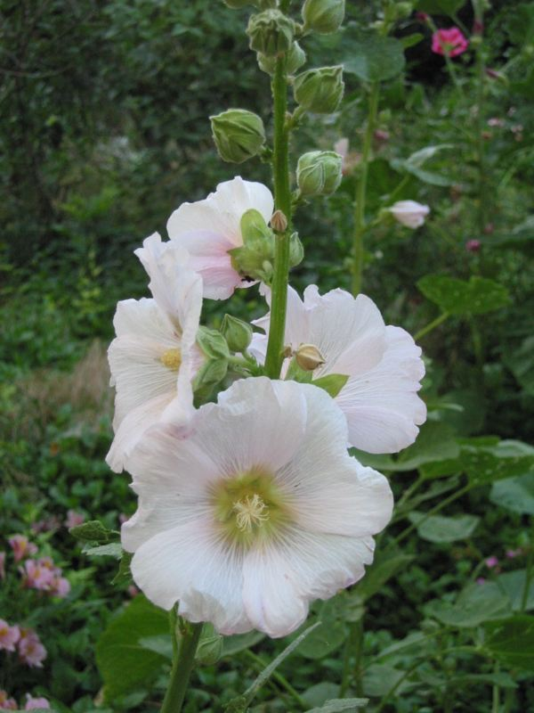 Different Type Of Hollyhock Flowers